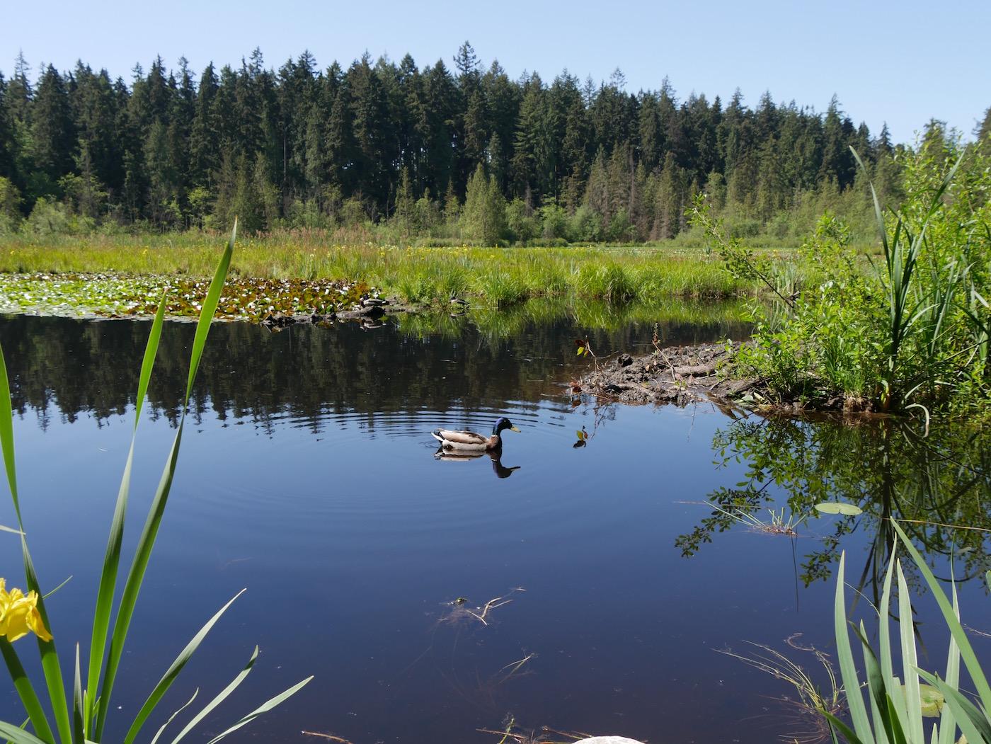 Stanley Park Vancouver Beaver Lake