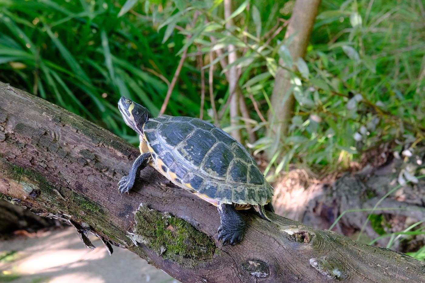 gros plan tortue Parc Tete d'Or - Lyon